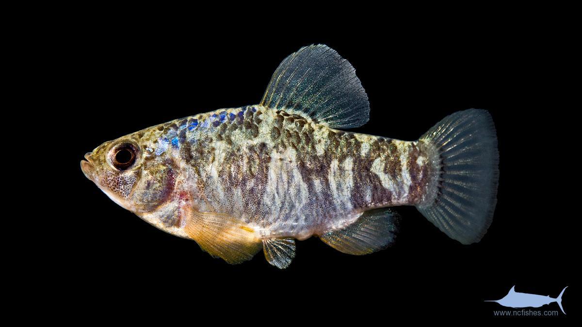 Fishes of North Caroli...