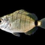 Spottail Pinfish - Diplodus holbrooki