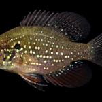 Bluespotted Sunfish - Enneacanthus gloriosus