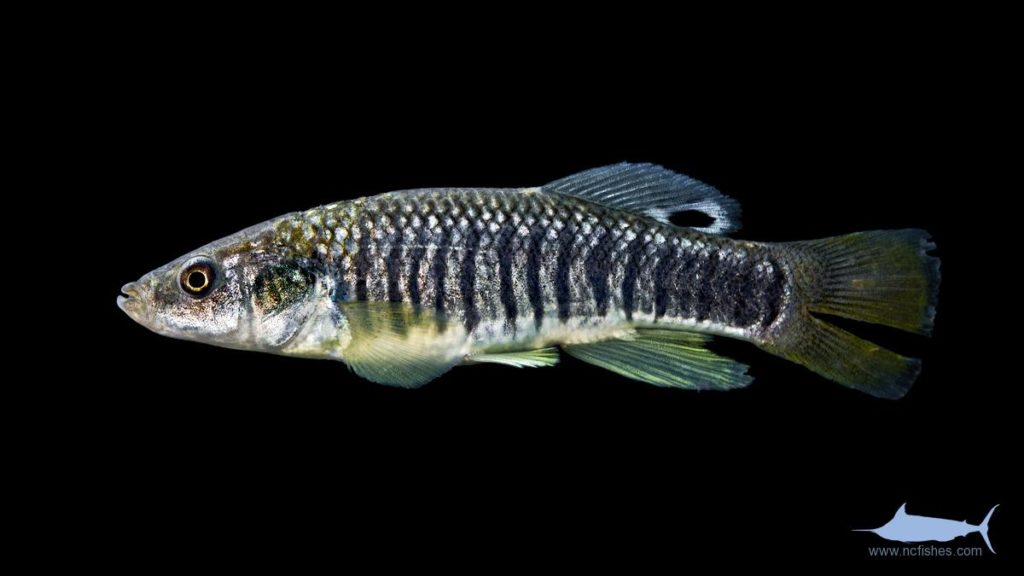Striped Killifish - Fundulus majalis - Male