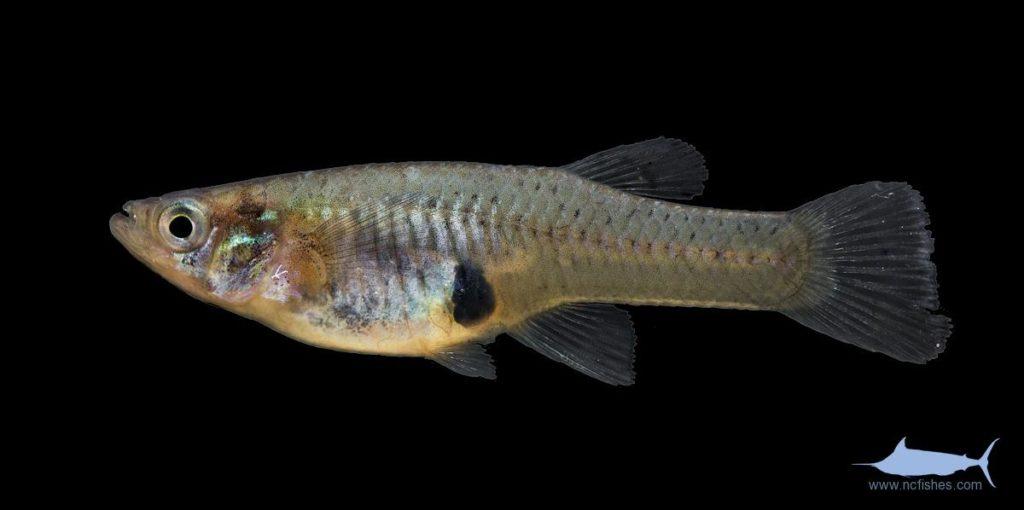 Eastern Mosquitofish - Gambusia holbrooki - Female