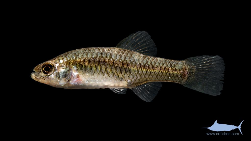 Rainwater Killifish - Lucania parva - Female