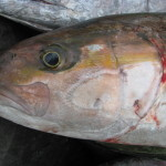 Greater Amberjack