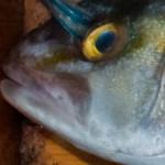 Banded Rudderfish's maxilla