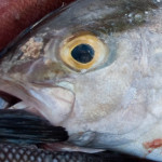 Lesser Amberjack Maxilla