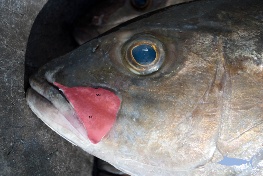 Amberjack Identification