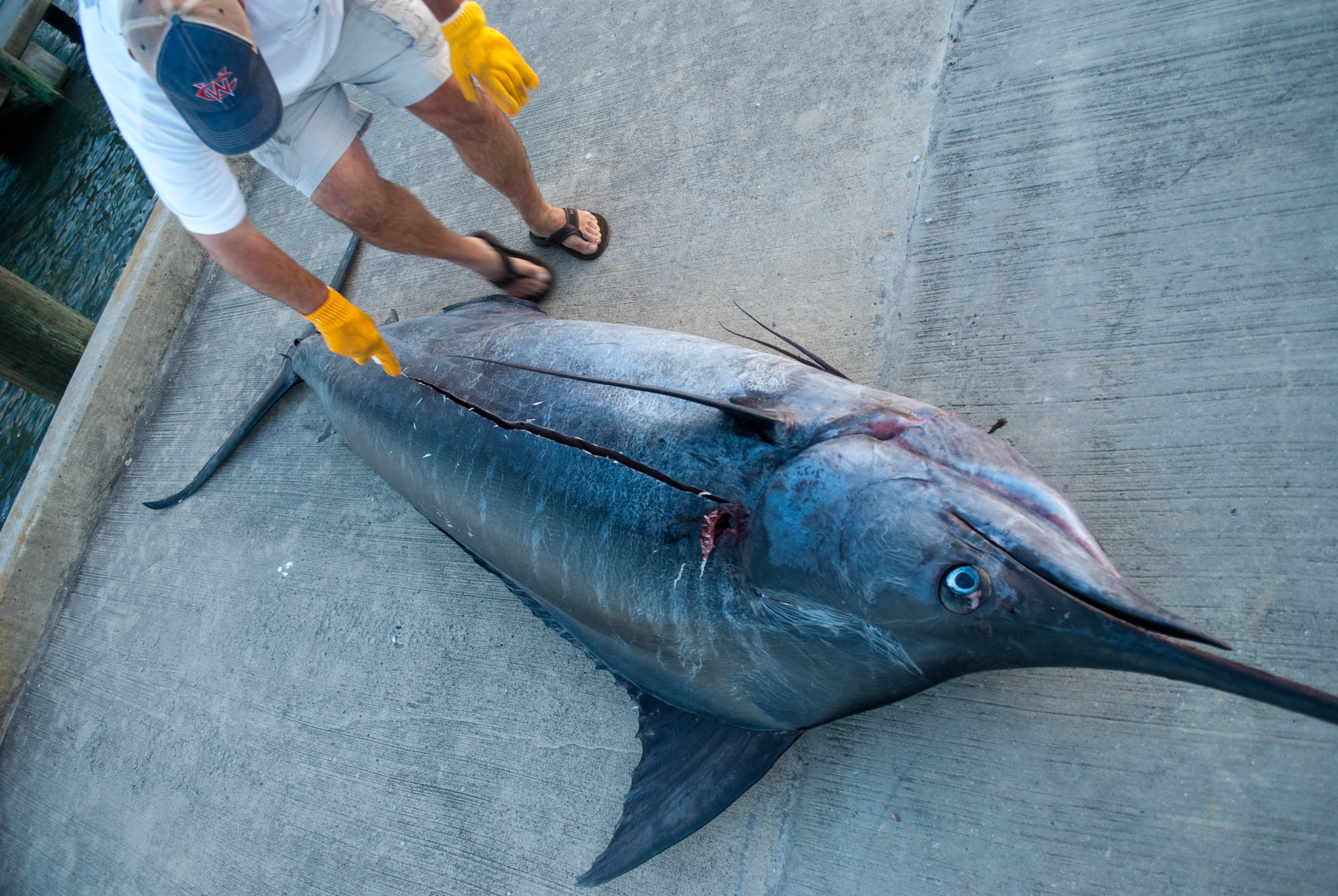 Blue Marlin Dissection