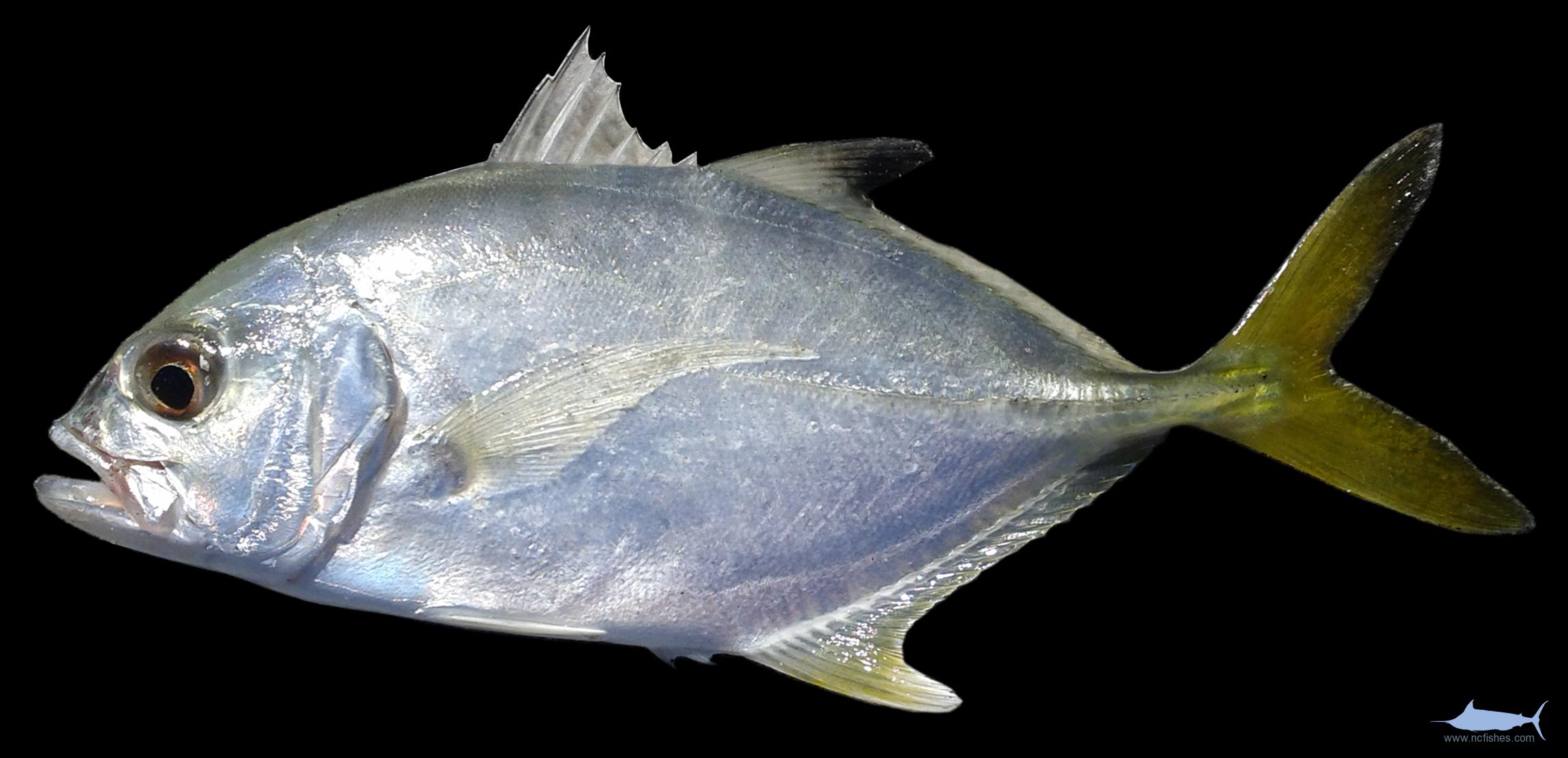 Caranx Latus Fishes Of North Carolina