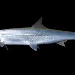 Ladyfish - Elops saurus