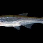 Pinewoods Shiner - Lythrurus matutinus