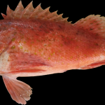 Spiny Cheek Scorpionfish - Neomerinthe hemingwayi