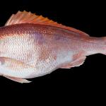 Vermilion Snapper - Rhomboplites aurorubens