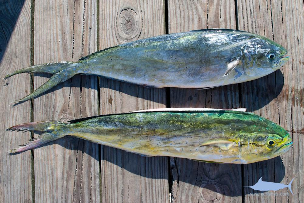 Pompano Dolphin Identification
