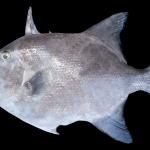 Ocean triggerfish - Canthidermis sufflamen