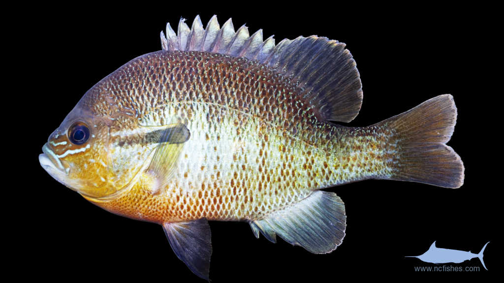 Lepomis Auritus Fishes Of North Carolina