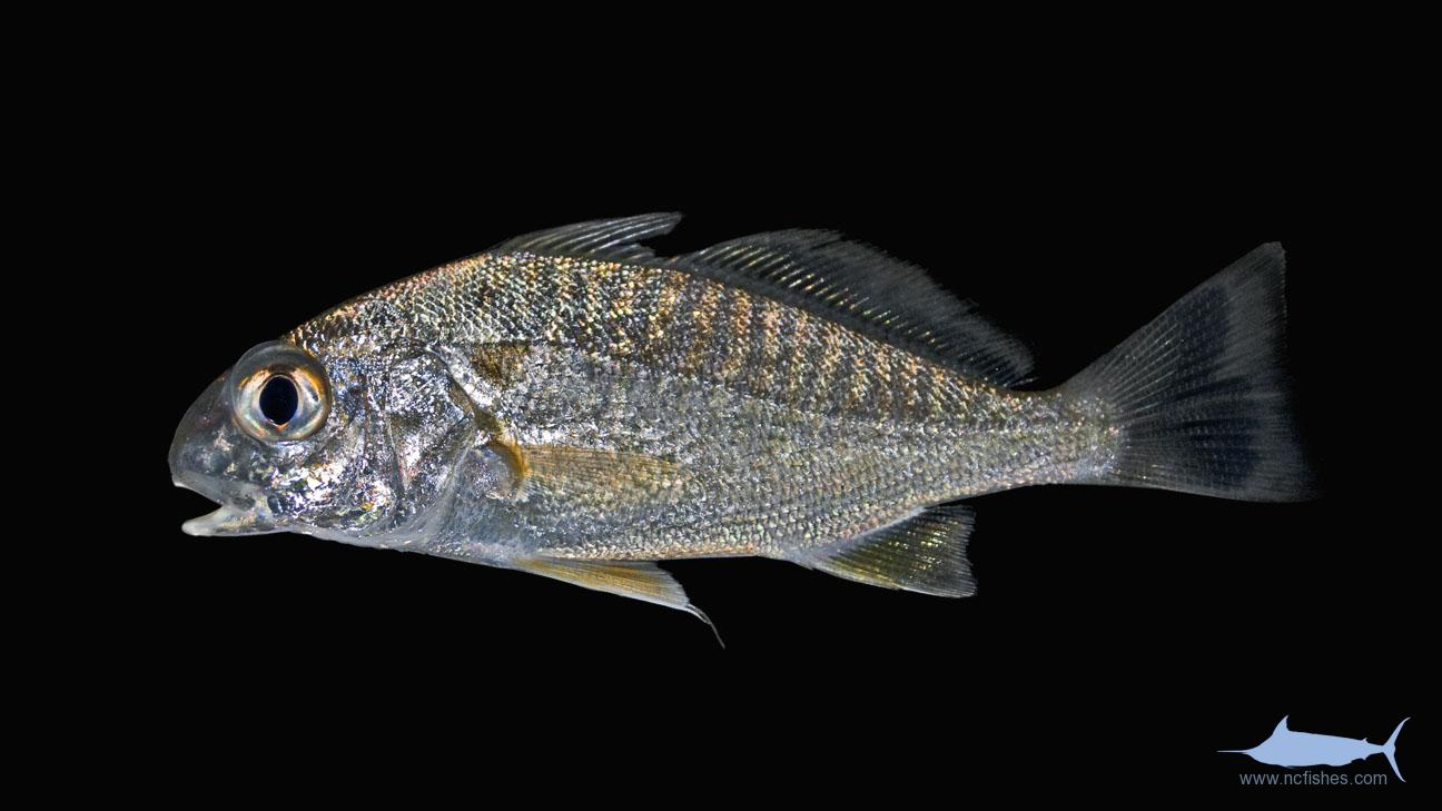 Types of fish in north carolina pictures to pin on for South carolina fish species