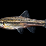 Mountain Redbelly Dace - Chrosomus oreas
