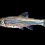 Spotfin Shiner - Cyprinella spiloptera