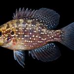 Bluespotted Sunfish - Enneacanthus gloriosus - Juvenile