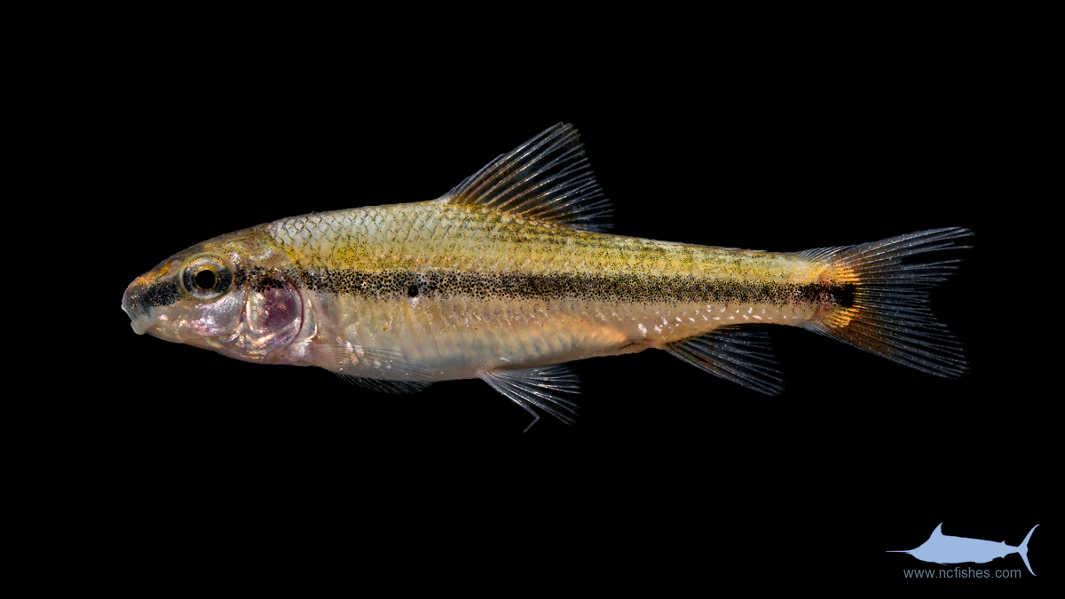 Fishes of north carolina fishes of north carolina for South carolina fish species