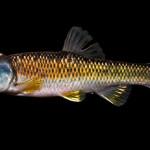 Bluehead Chub - Nocomis leptocephalus