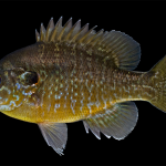 Green sunfish x Bluegill sunfish Hybrid