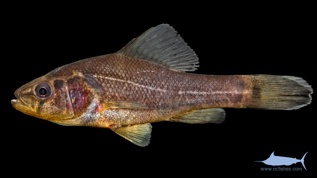 Pirate Perch - Aphredoderus sayanus