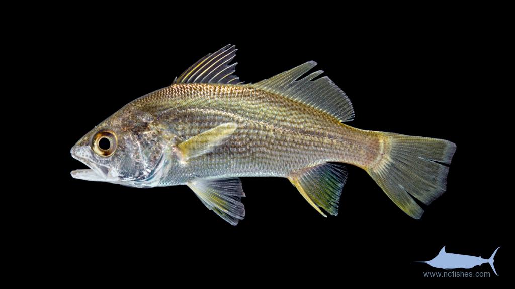 Silver Perch - Bairdiella chrysoura