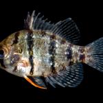 Blackbanded Sunfish - Enneacanthus chaetodon