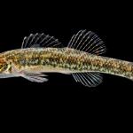 Swamp Darter - Etheostoma fusiforme