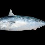 Frigate Mackerel - Auxis thazard thazard