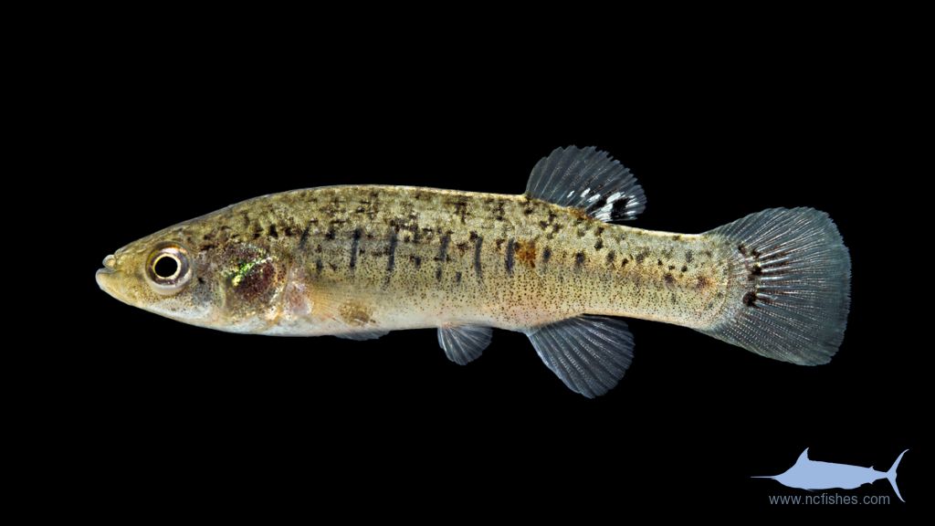 Marsh Killifish - Fundulus confluentus