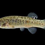 Marsh Killifish - Fundulus confluentus