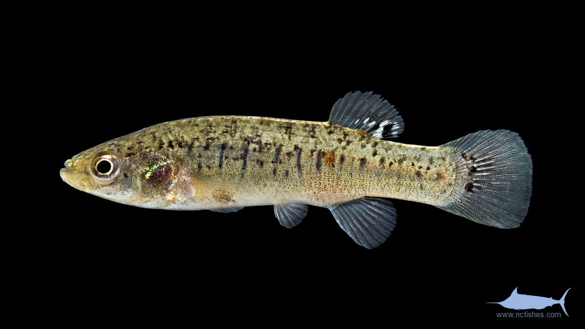 Nc freshwater fish species pictures to pin on pinterest for South carolina fish species