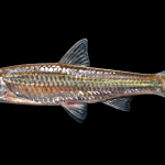 Eastern Silvery Minnow - Hybognathus regius