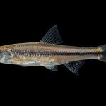 Spottail shiner - Notropis hudsonius