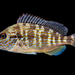 Pigfish - Orthopristis chrysoptera