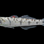 River Goby - Awaous banana