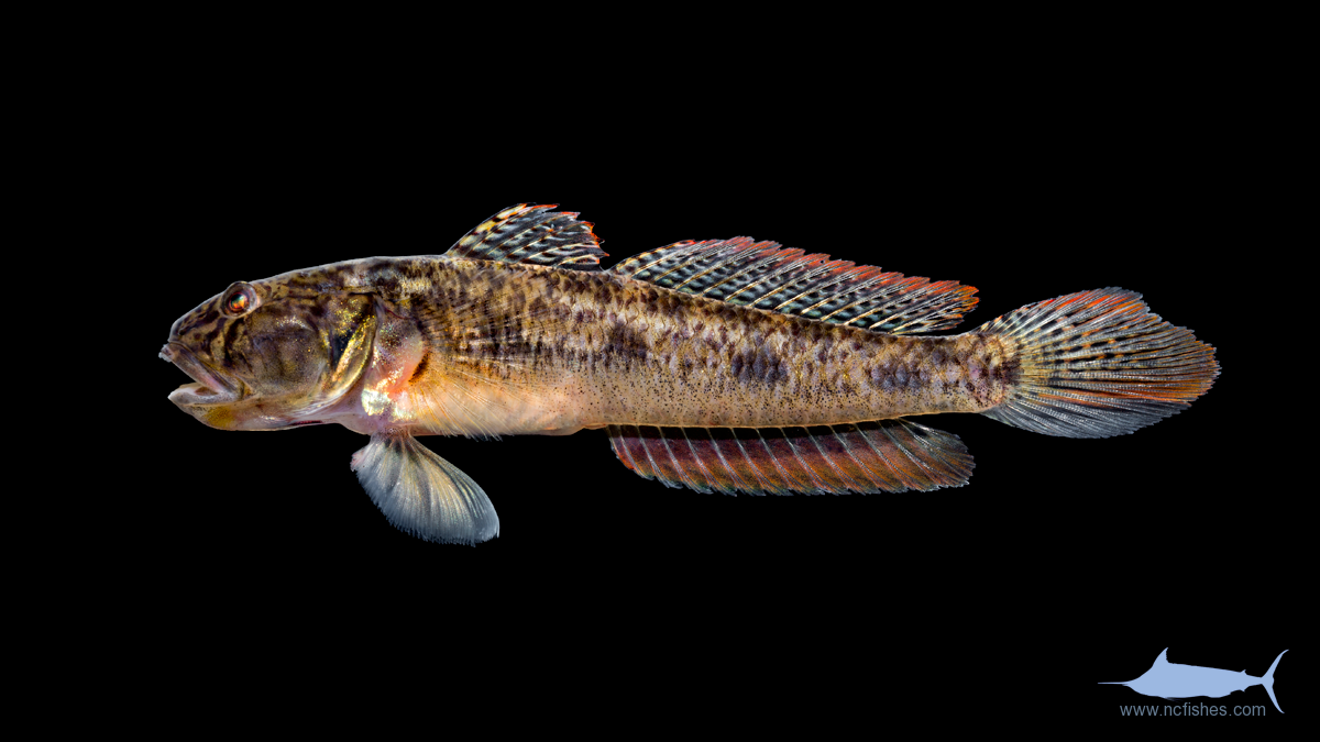 Gobiidae Fishes Of North Carolina