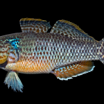 Fat Sleeper - Dormitator maculatus