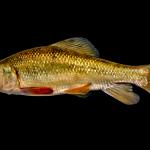 Creek Chubsucker - Erimyzon oblongus