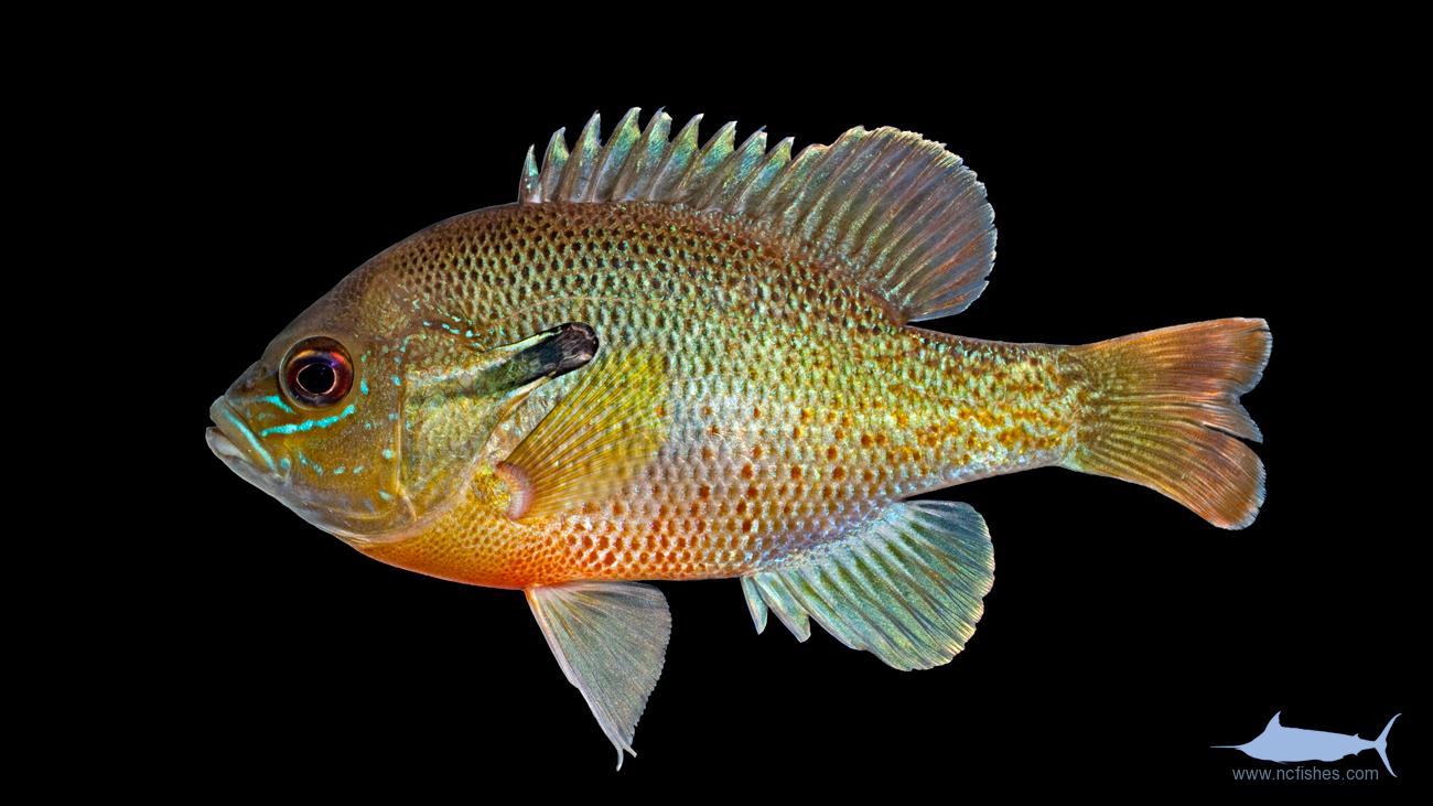Lepomis auritus Redbreast Sunfish