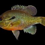 Redbreast Sunfish - Lepomis auritus