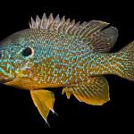 Green Sunfish - Lepomis cyanellus X Pumpkinseed Lepomis Gibbosus