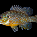 Green Sunfish - Lepomis cyanellus