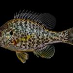 Redear Sunfish - Lepomis microlophus