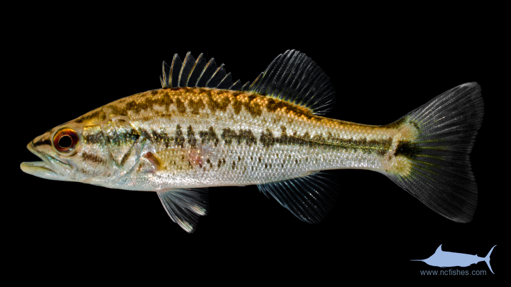 Largemouth Bass - Micropterus salmoides