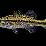 Largemouth Bass - Micropterus salmoides