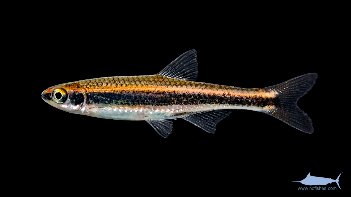 Other Cyprinids : Cyprinidae - Fishes of North Carolina
