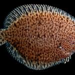 Hogchoker - Trinectes maculatus